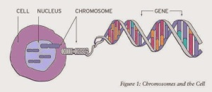 chromosomes_and_the_cell