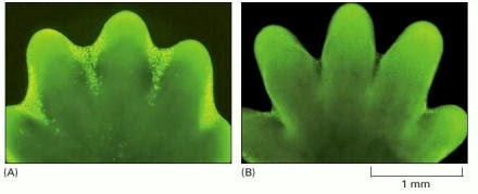 A- Mouse paw in early embryonic state. B - Mouse paw in later embryonic stage. This illustration shows both mitosis and apoptosis at work. In first image, fingers are not yet separated. The tissues which connect fingers undergo apoptosis at later stage thereby completing the process of fingers separation. (Image taken from Internet and doesn't belong to me.)
