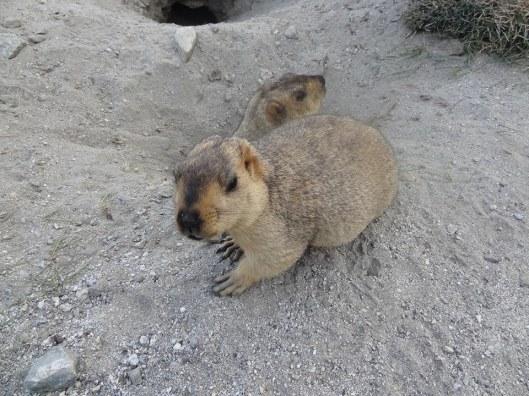 marmot5
