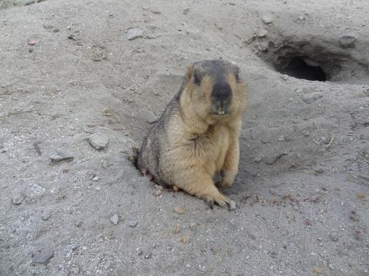 marmot6