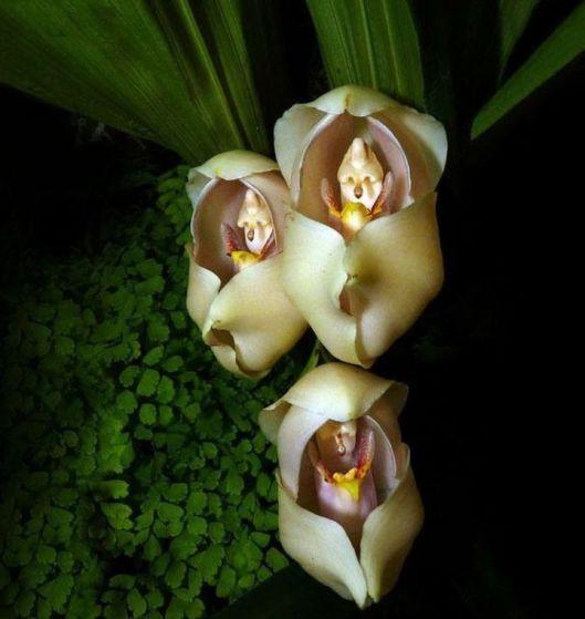12.-Swaddled-Babies-Anguloa-Uniflora1-720x761